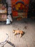 Dogs snoozing in the market