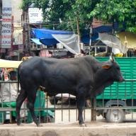 Street Cows