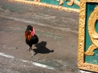 Roosters in Pha That Luang