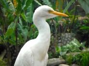 Cattle Egret at KL Bird Park