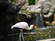 Yellow-billed Stork at KL Bird Park