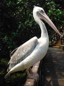 Pelican at KL Bird Park