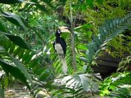 Oriental Pied Hornbill at KL Bird Park