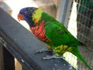 Rainbow Lorikeet at KL Bird Park