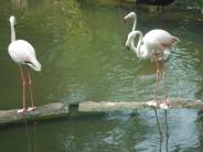 Flamingos at KL Bird Park