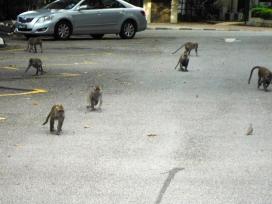 Monkey Invasion in the Parking Lot of KL Bird Park