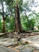 A Large Silk-Cotton Tree at the Overgrown Ta Prohm Temple
